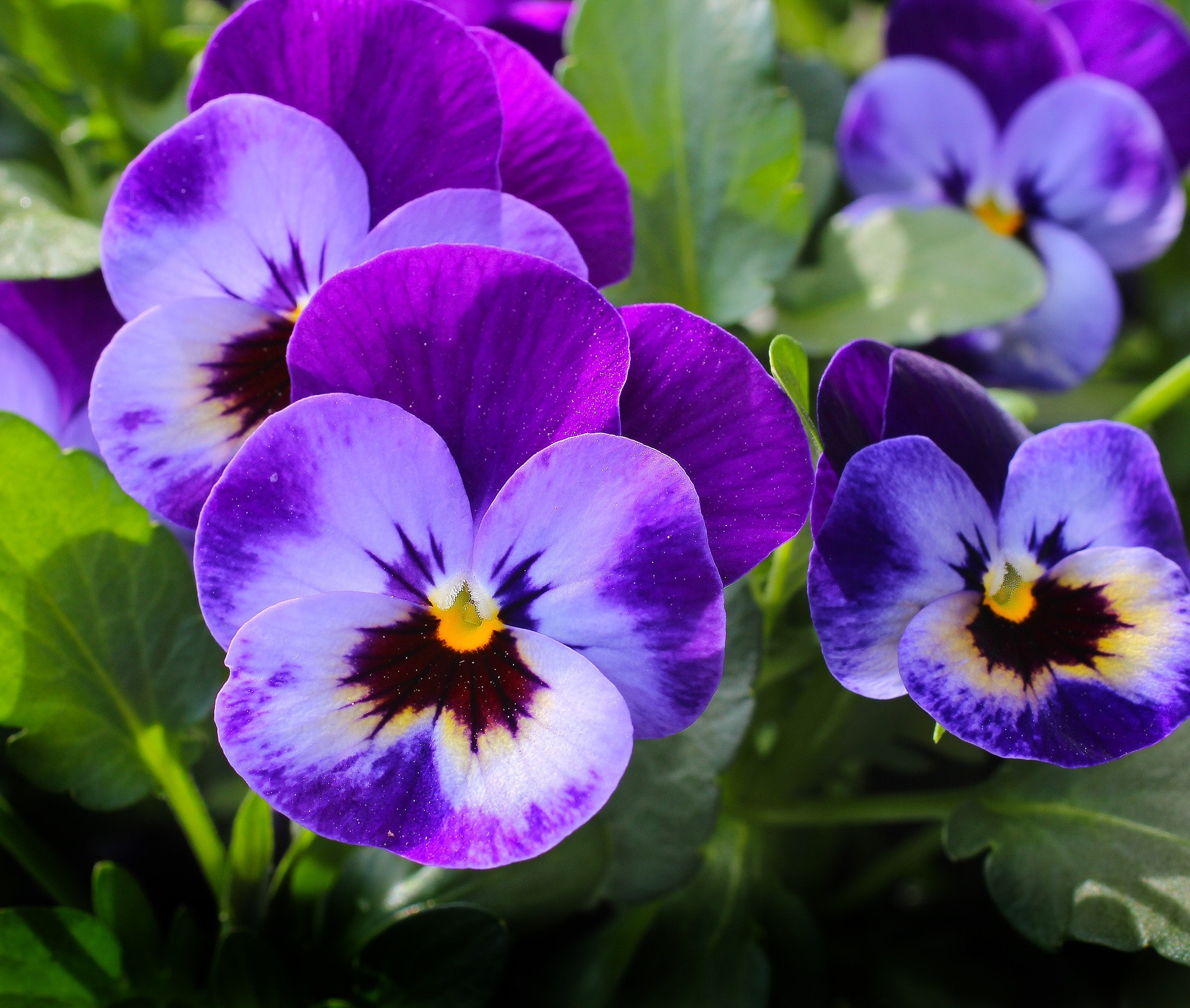 Stop and Smell the Pansies